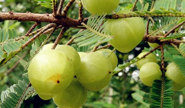 Zappnuar Healthy : มะขามป้อม